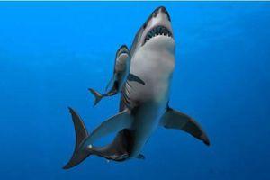 Bất ngờ lý do cá mập Megalodon có kích thước khổng lồ ngay từ khi sinh ra