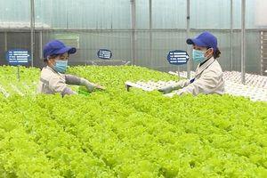 Các vùng sản xuất rau màu giảm sản lượng thu hoạch
