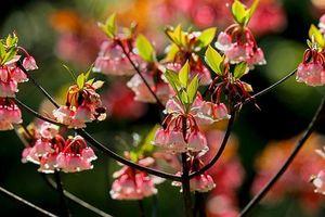 Say đắm cùng hoa đào chuông trên đỉnh Bà Nà