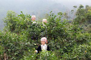Kho 'vàng xanh' trên núi Ngải Chồ, giá mỗi kg từ 300.000 - 400.000 đồng