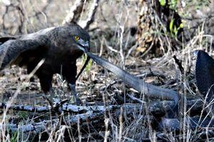 Lạnh lùng, bình tĩnh rắn hổ mang chống đỡ cực 'dẻo' trước đợt tấn công dồn dập đến từ chim đại bàng