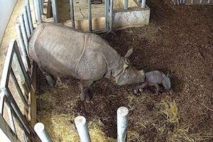 Khoảnh khắc tê giác Ấn Độ quý hiếm sinh con ở Ba Lan