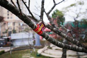Đào Vân Hồ được dán tem chứng thực phục vụ người dân Hà Nội chơi Tết