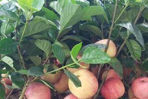 Loạn thị trường cây cảnh gắn trái giả