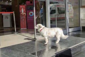 Cô chó trung thành chờ chủ ngoài bệnh viện nhiều ngày dài