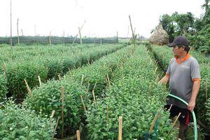 Đìu hiu vụ hoa Tết, nhiều nhà vườn ở Quảng Ngãi thất thu