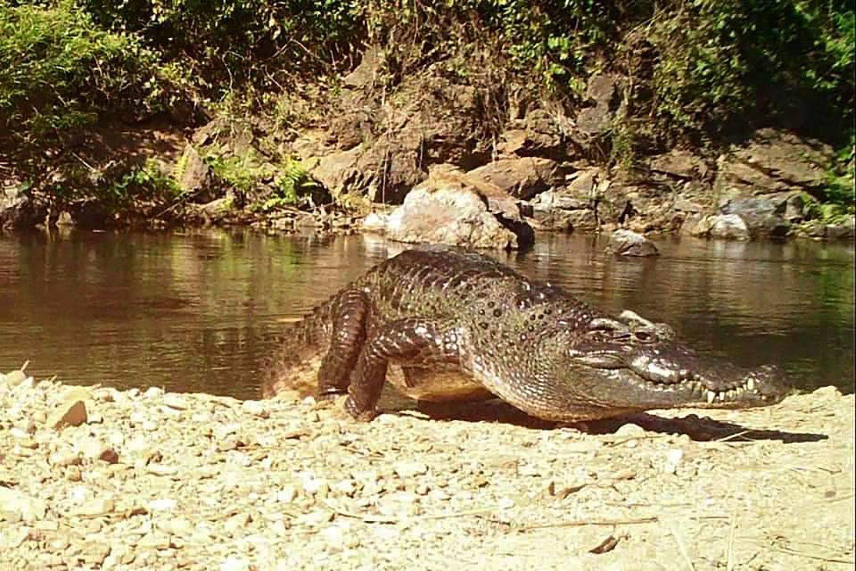 Phát hiện cá sấu Xiêm siêu hiếm