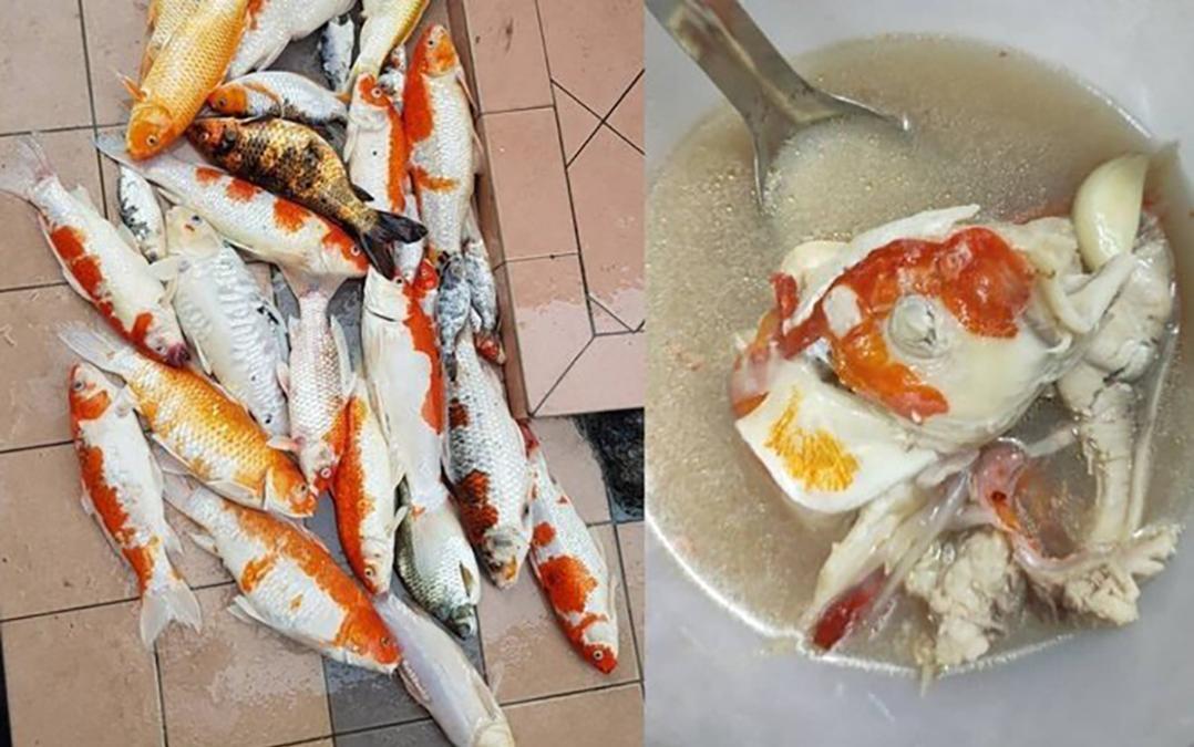 Cô gái đem 20 con cá Koi đi nấu súp gây phẫn nộ và sự thật bất ngờ
