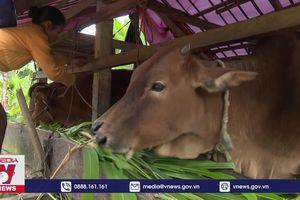 Thừa Thiên – Huế: Tăng cường phòng chống đói rét cho đàn gia súc