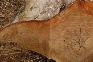 Khẩn trương điều tra, làm rõ 4m3 gỗ lậu