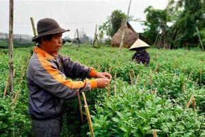 Phong vị tết Việt: Làng hoa Nghĩa Hiệp thấp thỏm vụ Tết