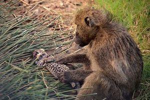 Báo hoa mai con chết thảm khi rơi vào tay khỉ đầu chó 'hậu đậu'