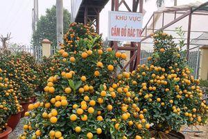 Giá tăng mạnh, lái buôn Thanh Hóa đầu tư hàng trăm triệu mua hoa, cây cảnh bán Tết