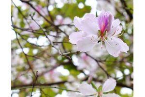Hoa ban mùa đầu