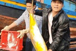 Ngư dân Hà Tĩnh trúng lớn cá chim vây vàng