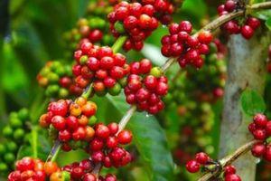 Giá cà phê hôm nay 26/1: Có xu hướng giảm nhẹ