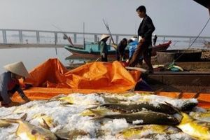 Trúng mẻ cá chim vây vàng hơn 600 triệu đồng