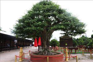 Xác lập kỷ lục cây sanh bonsai có đường kính tán lớn nhất Việt Nam