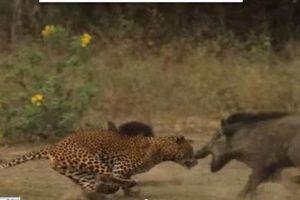 Lợn rừng mẹ quyết chiến với báo đốm để cứu con