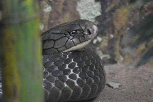 Cơ chế nào giúp rắn không bao giờ bị nhiễm nọc độc của chính nó?