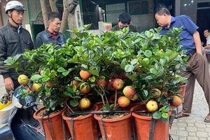 Nhiều người sắm cây táo giả lạ mắt giá 200-300 nghìn/cây về chơi Tết