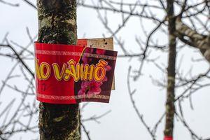 Ngắm đào trồng Sơn La dán tem, bày bán trên phố Hà Nội