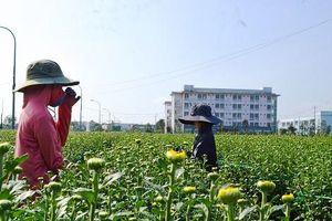 Người trồng hoa Quảng Ngãi 'thấp thỏm' chờ Tết