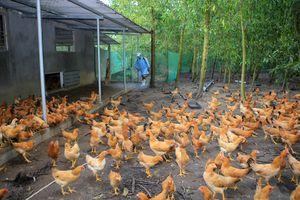 Cà Mau phát hiện ổ dịch cúm gia cầm H5N1 trên địa bàn xã Phú Thuận