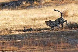 Xem báo đốm săn đuổi thỏ rừng