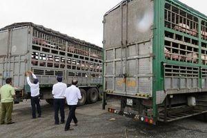 Hà Nội: Tăng cường kiểm soát vận chuyển lợn, sản phẩm từ lợn qua biên giới