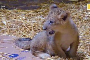 Cận cảnh sư tử đầu tiên được thụ tinh nhân tạo ở Singapore