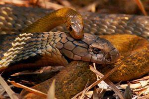 Đụng độ nhầm Vua của loài rắn, con rắn chuột nhận cái kết thảm khốc