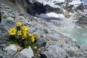 Thực vật trên dãy Alps đối mặt với nguy cơ tuyệt chủng