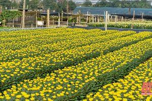 Làng hoa lớn nhất xứ Thanh vào mùa Tết