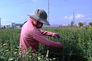 Quảng Ngãi: Người trồng hoa lo sợ không bán được hoa Tết