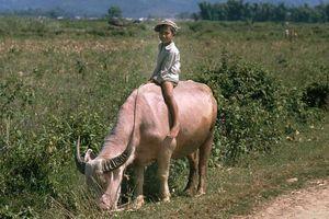Ảnh 'đẹp ngất' về những chú trâu ở Việt Nam năm 1992 (kỳ 1)