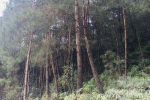 Huyện biên giới Trùng Khánh đời sống khấm khá nhờ trồng rừng