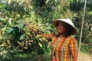 Tân Châu phát triển nông nghiệp ứng dụng công nghệ cao