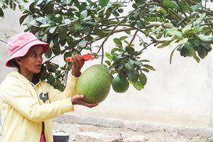 Mô hình hỗ trợ trồng bưởi, sầu riêng: Giúp dân thoát nghèo
