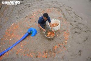 Hối hả lội bùn, nước thu hoạch cá chép đỏ trước ngày ông Công ông Táo