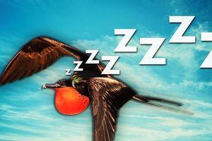 Bí mật về giấc ngủ trong khi bay của loài chim