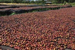 Cà phê Việt Nam đối mặt nguy cơ mất thị trường EU