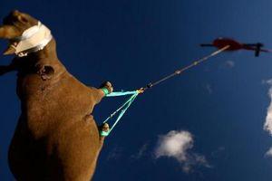 Giải cứu tê giác đen bằng máy bay trực thăng