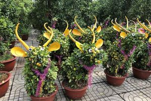 Tắc trâu vàng, tắc bonsai tạo hình kỳ công đắt khách