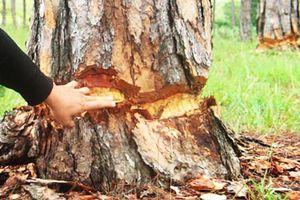 Lâm Đồng: 108 cây thông hàng chục năm tuổi bị đẽo vỏ