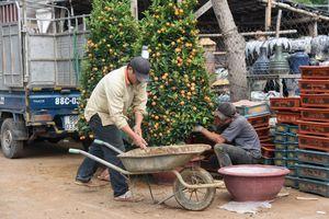 Giá quất cảnh giảm một nửa, lao động thời vụ ở nhà vườn 'đói việc'