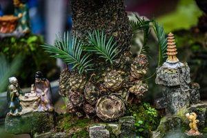 Độc đáo thú chơi vạn tuế mini bám đá dịp Tết Nguyên đán