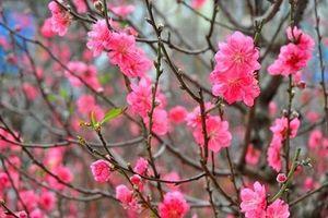 Những loại hoa Tết mang đến may mắn, tốt lành năm mới