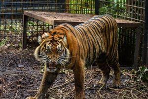 Indonesia: Sổng chuồng 2 cá thể hổ hiếm, 1 con bị bắn chết