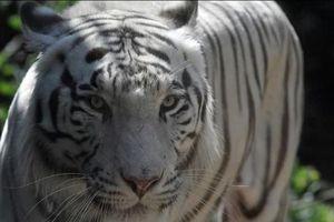 Bắt sống hổ Bengal sổng chuồng, giết chết nhân viên vườn thú